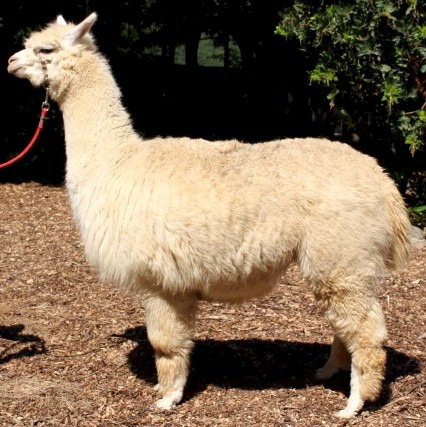 Alpaca For Sale - Silver Rose Debutante at Wooden Valley Alpacas