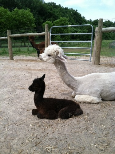 Grand River Velicity and cria