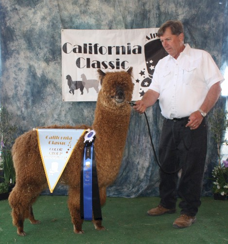 Alpaca For Sale - Commander's Chewbacca of WV at Wooden Valley Alpacas