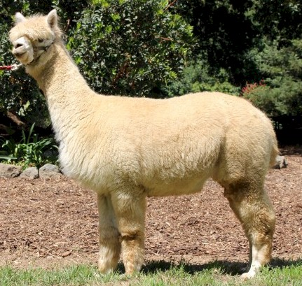 Alpaca For Sale - Sky Blue Pink Peruviana at Wooden Valley Alpacas