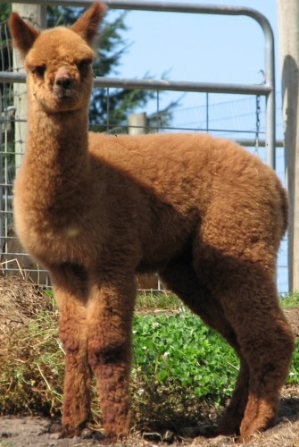 Evangelina as a Cria