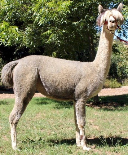 Alpaca For Sale - WV's Misty at Wooden Valley Alpacas