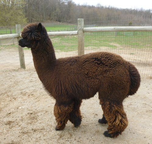Alpaca For Sale - Elektra's Volt at Country Lakes Alpacas