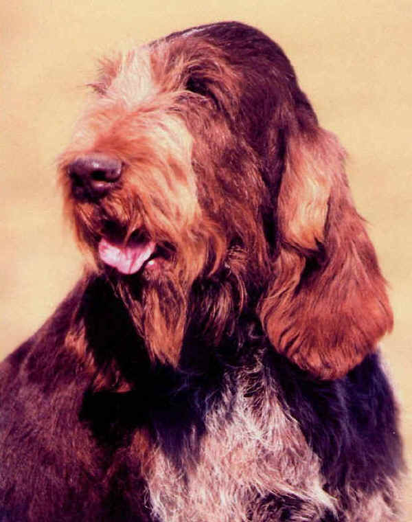 Photo www.spinone-italiano.com