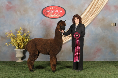 Alpaca For Sale - Grand River Jet Stream at Country Lakes Alpacas