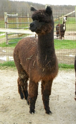 Alpaca For Sale - Grand River Volare at Country Lakes Alpacas