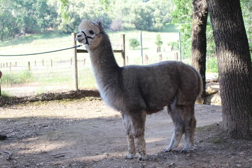 Skyline Alpacas Silver Prancer