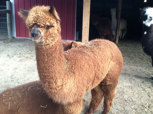 Nugget's 2014 Female Cria
