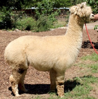 Alpaca For Sale - ABS Valentina at Wooden Valley Alpacas