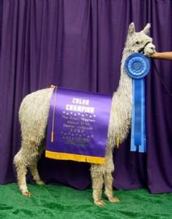 Champion cria - Felicia