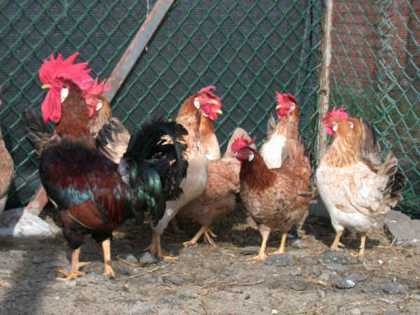 Modenese Chickens