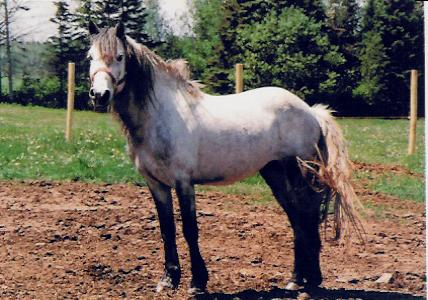 Source: The Newfoundland Pony Society (<a href=http://www.newfoundlandpony.com class=body> newfoundlandpony.com</a>)